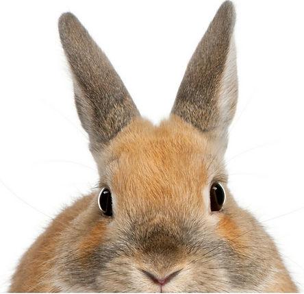 ARLNH Adoptable Rabbits