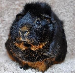 ARLNH Small Animal Adoptions Guinea Pigs Mice Hamsters