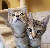 FB tabby kittens.jpg