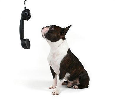Dog looking at phone