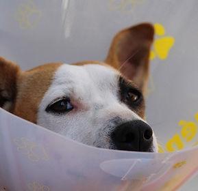 dog with elizabethan collar.jpg