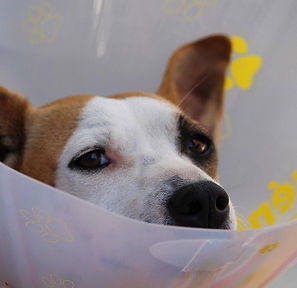 dog with elizabethan collar.jpg