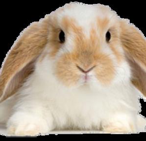 ARLNH Rabbit Adoptions