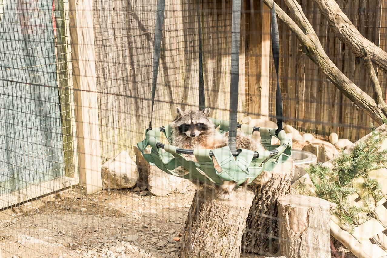 A sleepy raccoon at the Lehigh Valley Zoo