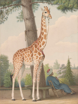Study of the Giraffe