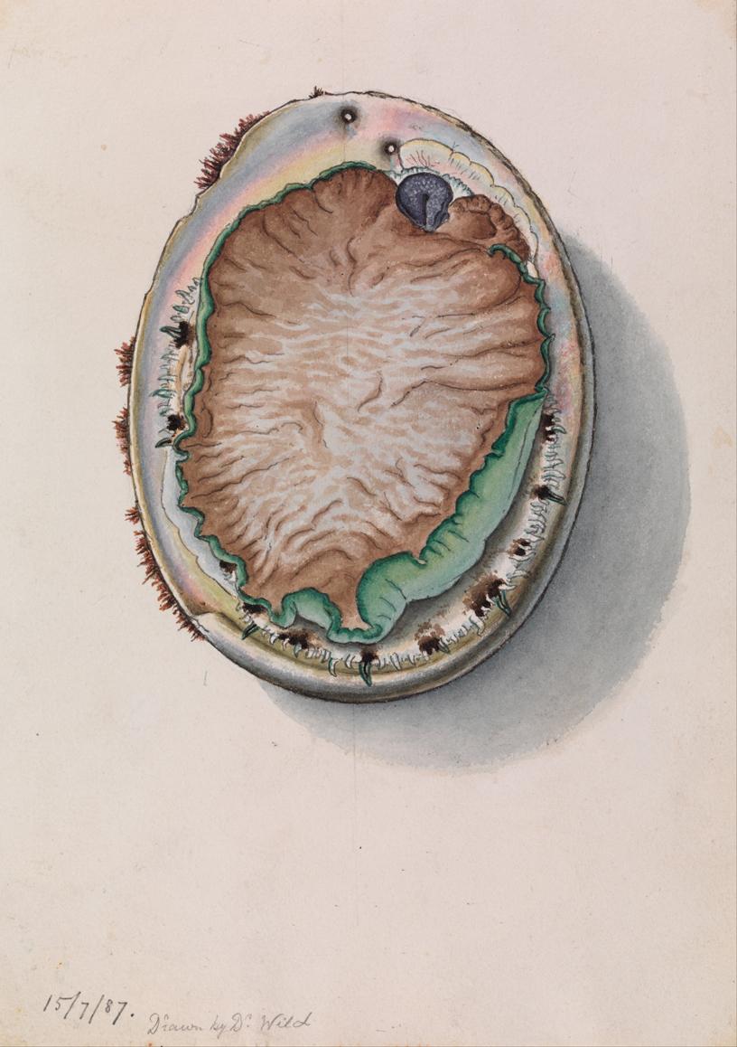 Green-lipped Abalone