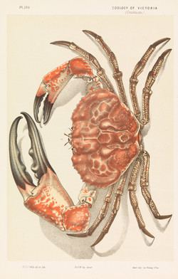 Tasmanian Giant Crab