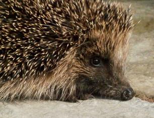 Hedgehog warming himself.jpg