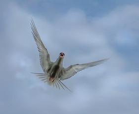 Diving Tern.jpg