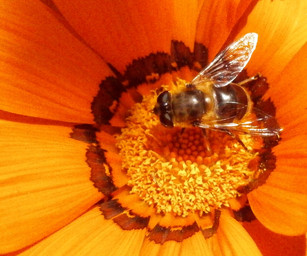 Bee gathering nectar.jpg