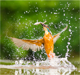 Emerging kingfisher with minnow.jpg