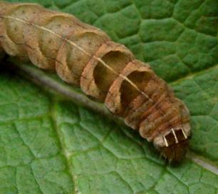 Double square spot moth caterpillar.jpg