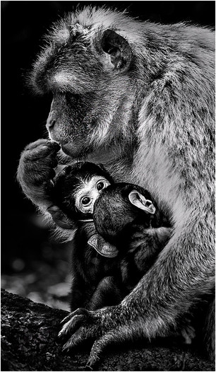 Barbary Macaque mother and young.jpg