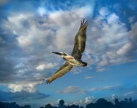airbourne pelican.jpg