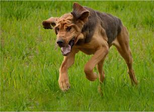 1. Airbourne Bloodhound.jpg