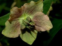 Helebore seed pods.jpg