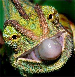 Yemen Chameleon.jpg
