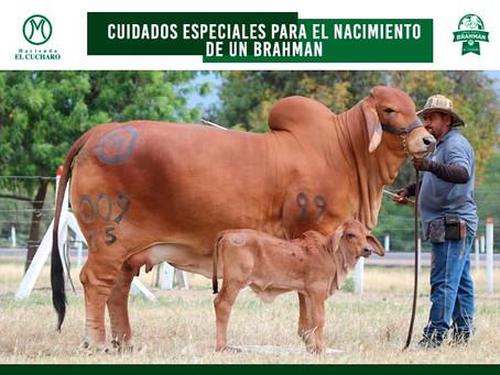 CUIDADOS ESPECIALES  PARA EL NACIMIENTO DE UN BRAHMAN