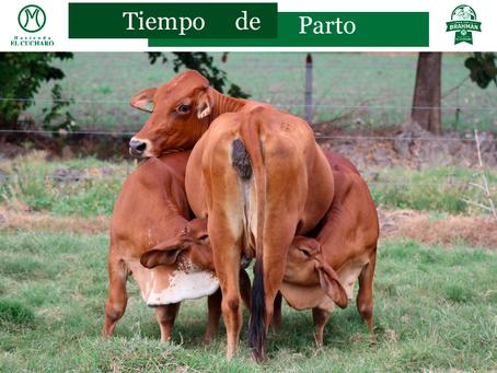 Tiempo de parto del ganado