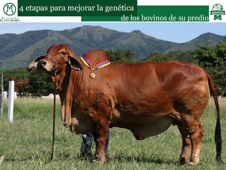 4 etapas para mejorar la genética de los bovinos de su predio