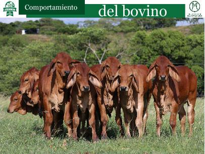 Comportamiento del bovino