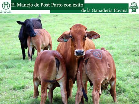El Manejo de Post Parto con éxito de la Ganadería Bovina con Hacienda El Cucharo