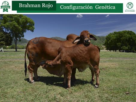 Configuración Genética Brahman Rojo