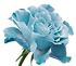 Turquoise%252520%252520rose.%252520%2525