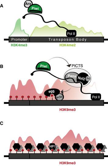 Model of piRNA-guided co-transcriptional gene silencing (TGS) in the Drosophila ovary