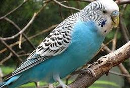Australian Budgerigar parakeet