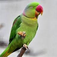 Indian Ringneck parakeet