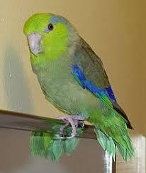Pacific Parrotlet parakeet