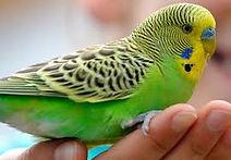 The Budgerigar parakeet