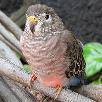 Burge's parakeet