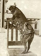 pit bull Stubby.jpg