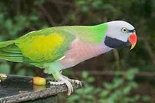 Parak Mustache Parakeet
