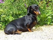 dachshund,  small dog breed