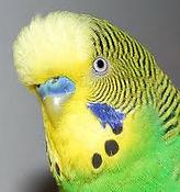 English Budgie parakeet
