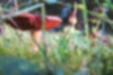 Identifier les plantes sauvages comestibles