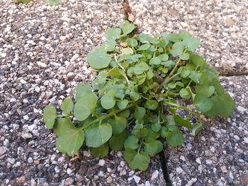 Cardamine hirsute - Une plante sauvage comestible dw la même famille que le chou !