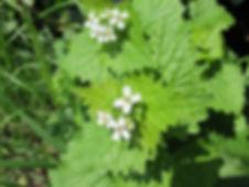 Aliaire - plante sauvagede la famille des brassicacées