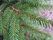 norway spruce close up.jpg