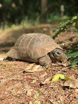 Η χελώνα του Αισώπου