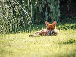 Ξέγνοιαστη αλεπού