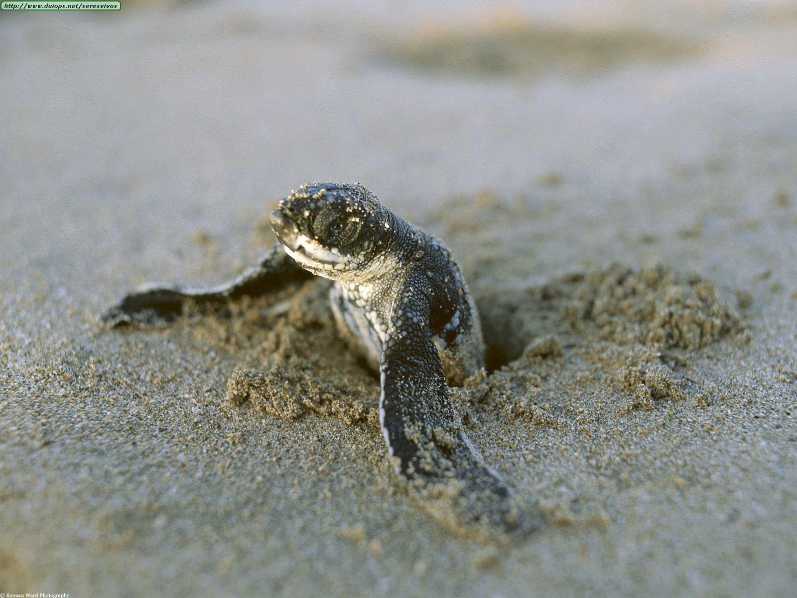 First Break, Leatherback Turtle, Costa Rica