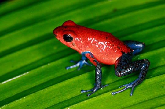 grenouille costa Rica