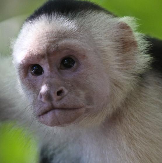White-faced-Squirrel-Monkey-Costa-Rica-