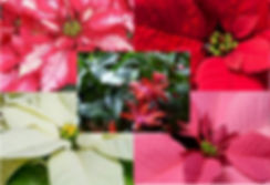 Chirtsmas Poinsettias Pic2019.jpg