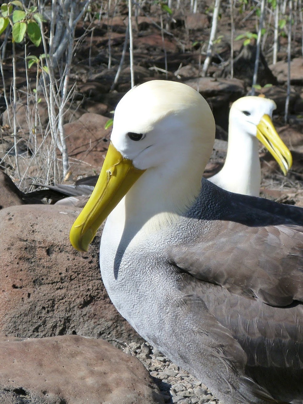 Waved albatrosses courting on Española Island, Galápagos Islands