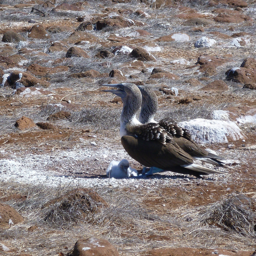 Blue-footed booby family